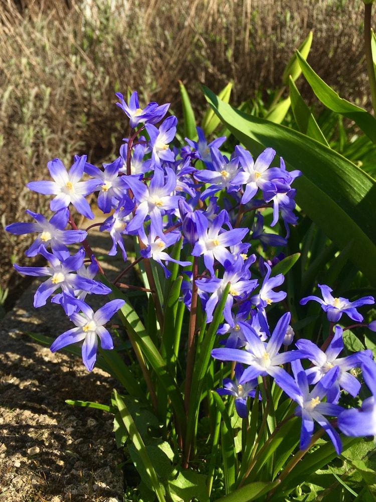 A bunch of purple chionodoxa flowers.