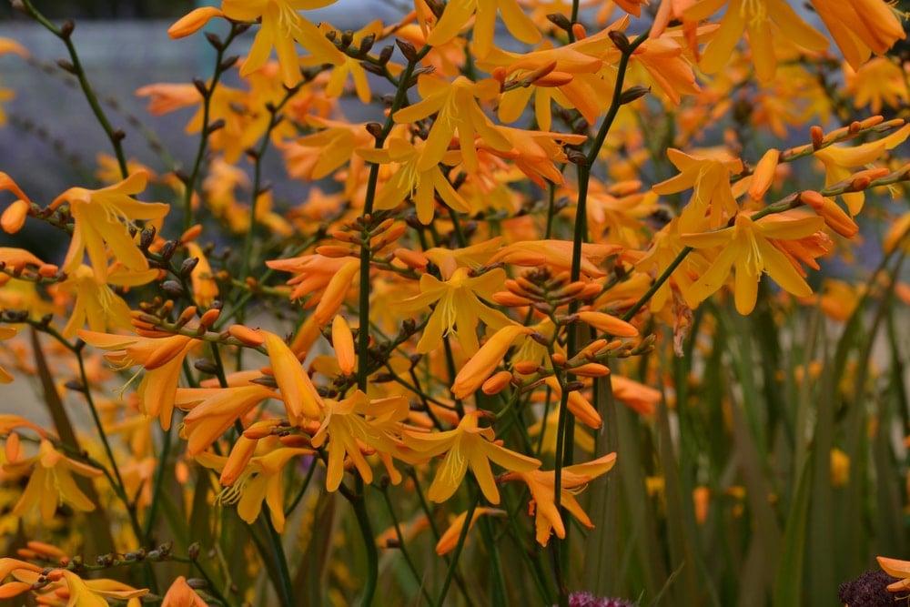 A garden of beautiful orange crocosmia flowers.