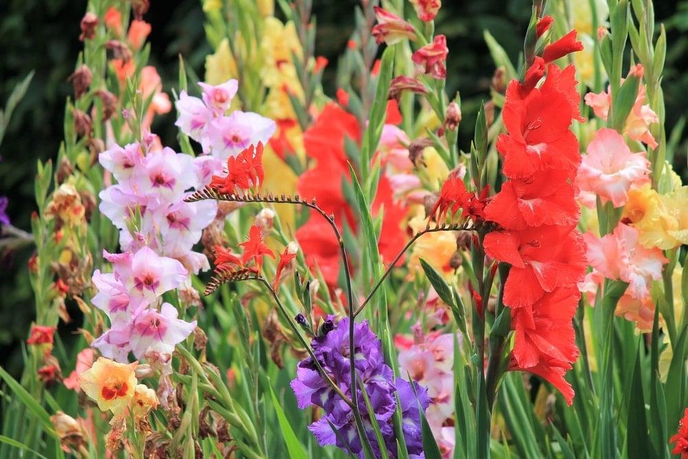 Various clusters of colorful gladiolus flowers.