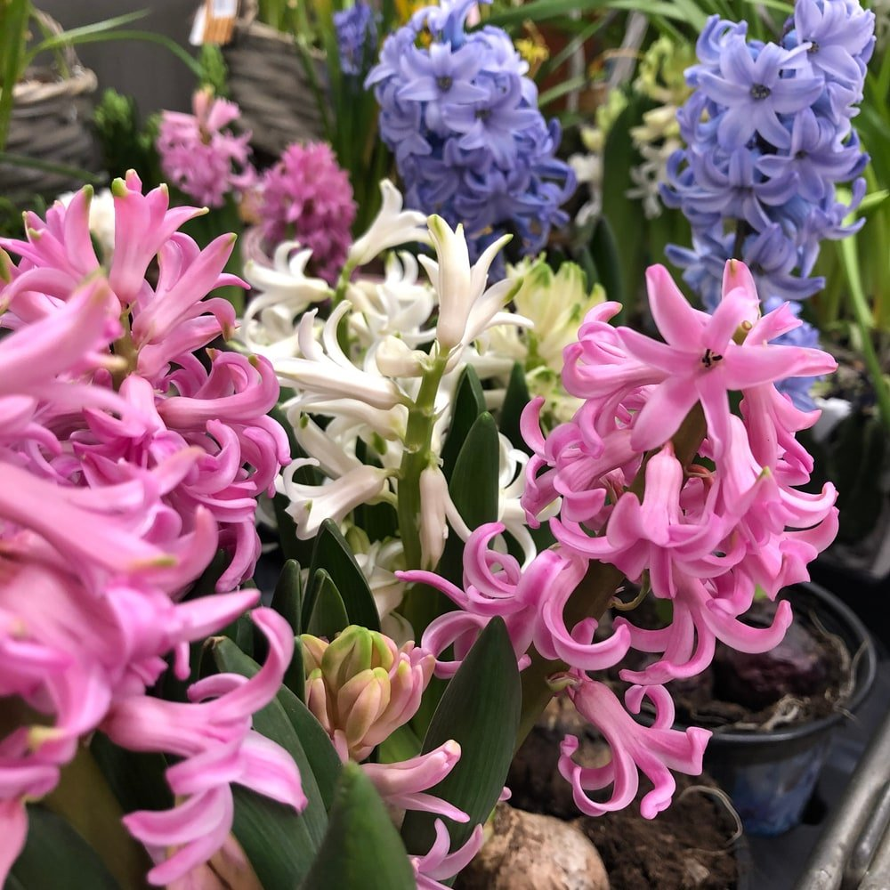 Bunches of different colored hyacinths.