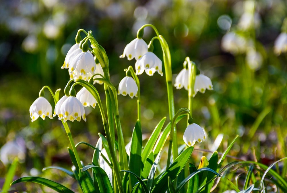 A bunch of gorgeous leucojum flowers in bloom.