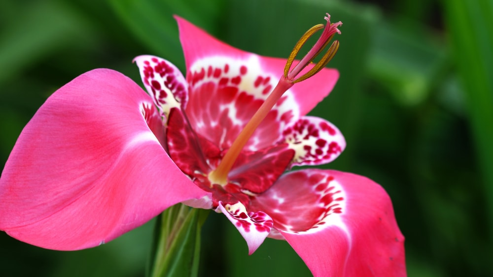 A close inspection of a tigridia flower.