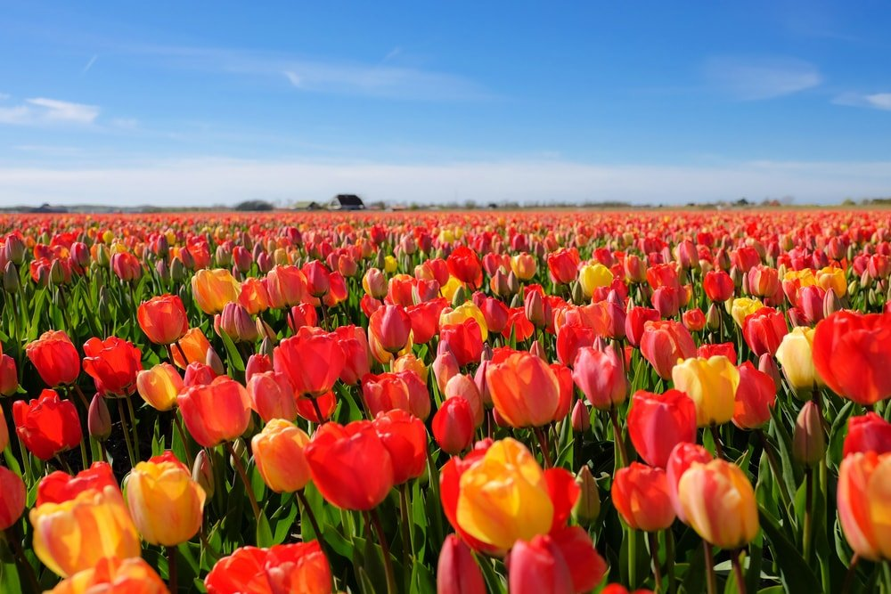 A large field of tulips.