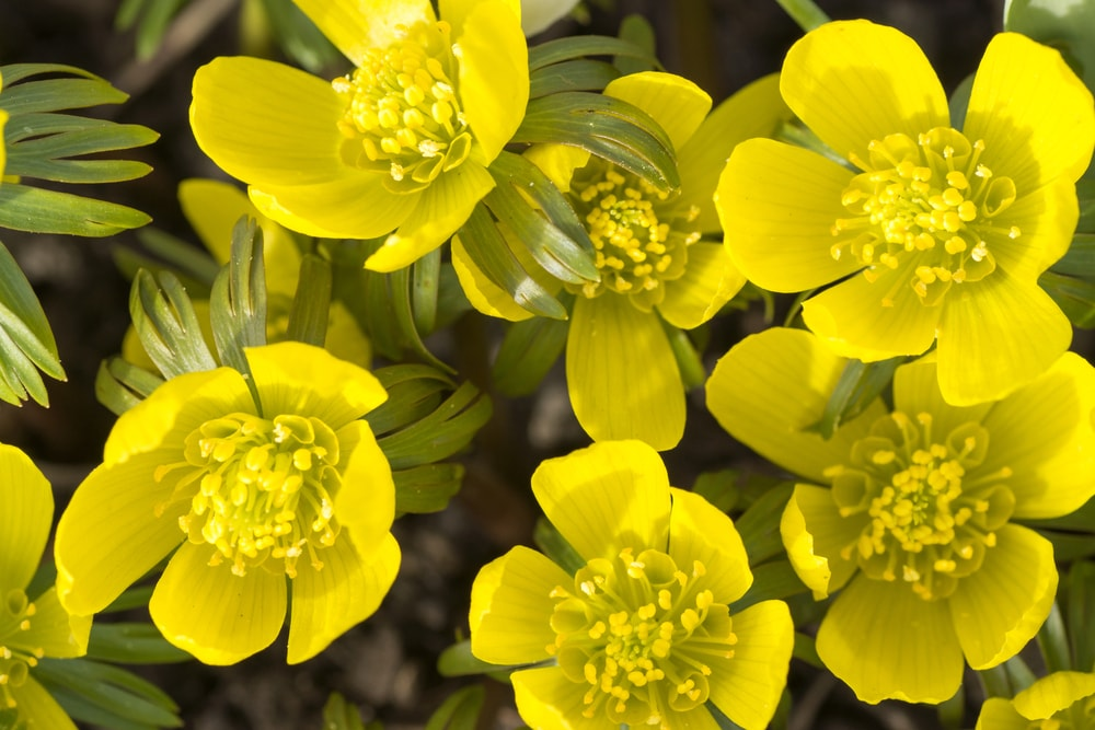 A close up of lovely yellow winter aconites.