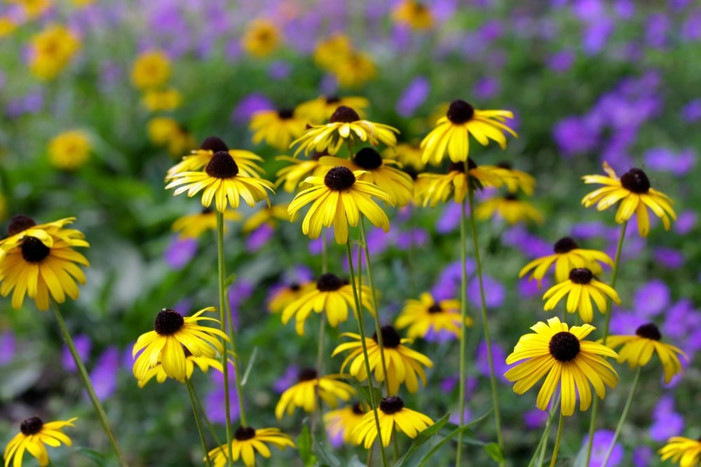 A bunch of black eyed susan flowers.