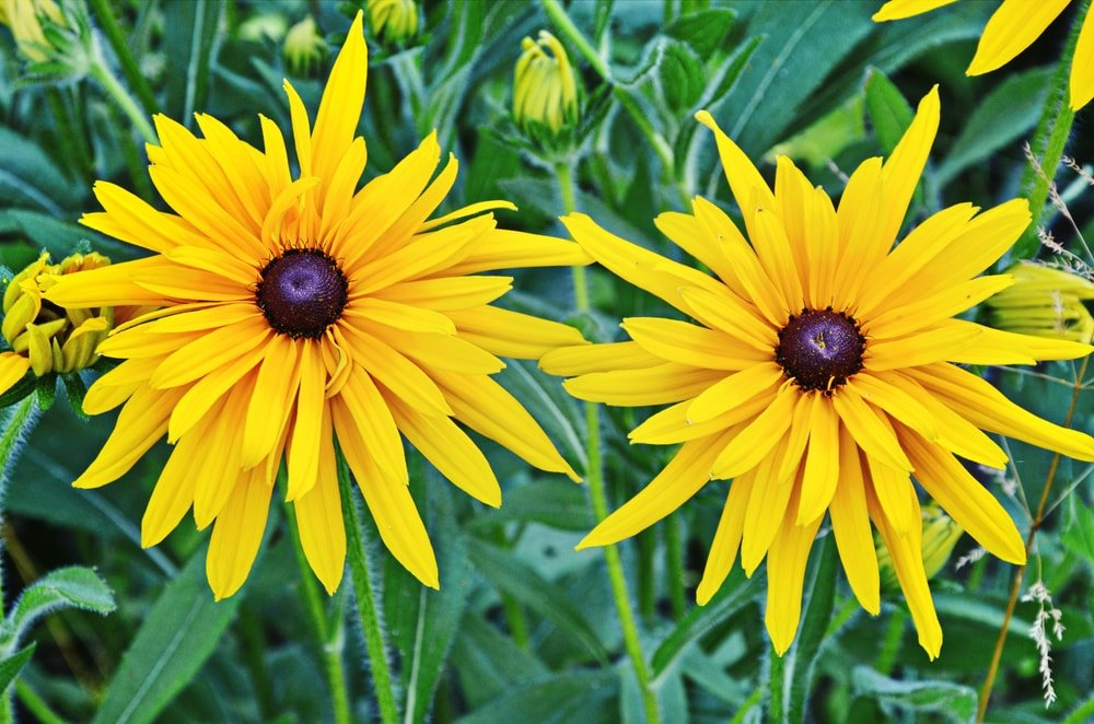 A gorgeous pair of coneflowers.