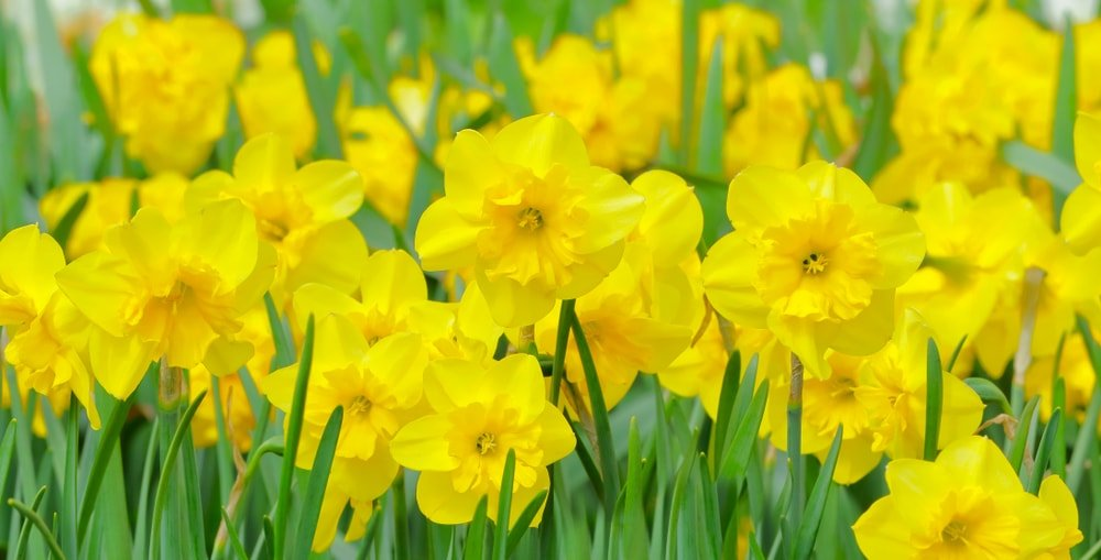 Sunny yellow daffodils that stand out against the green grass.