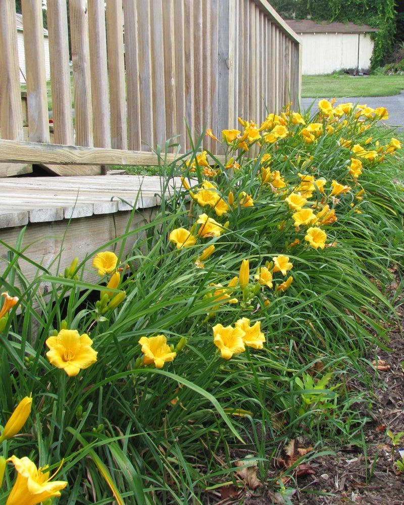 Beautiful daylilies on the side of the wooden railings.