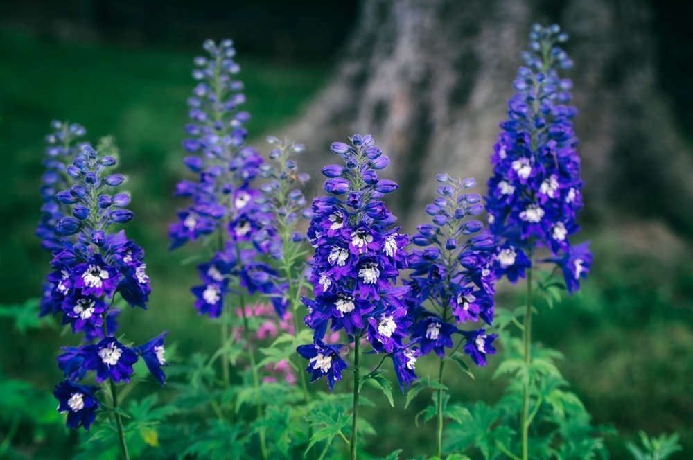 A cluster of gorgeous delphiniums.