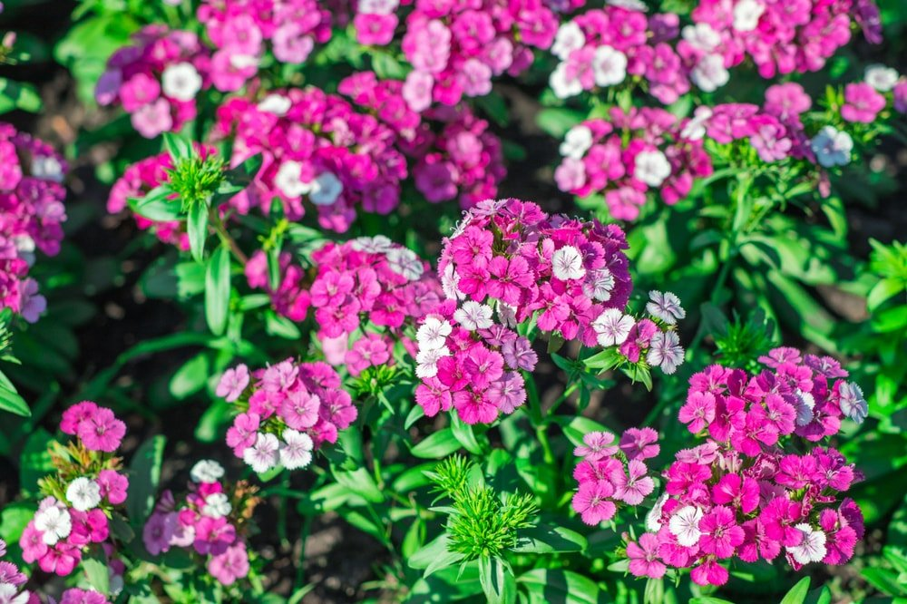 A cluster of lovely pink dianthus flowers.