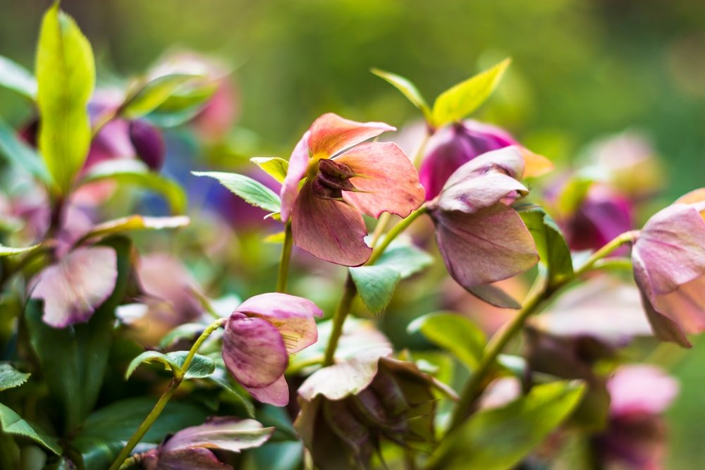A close up of hellebores flowers.