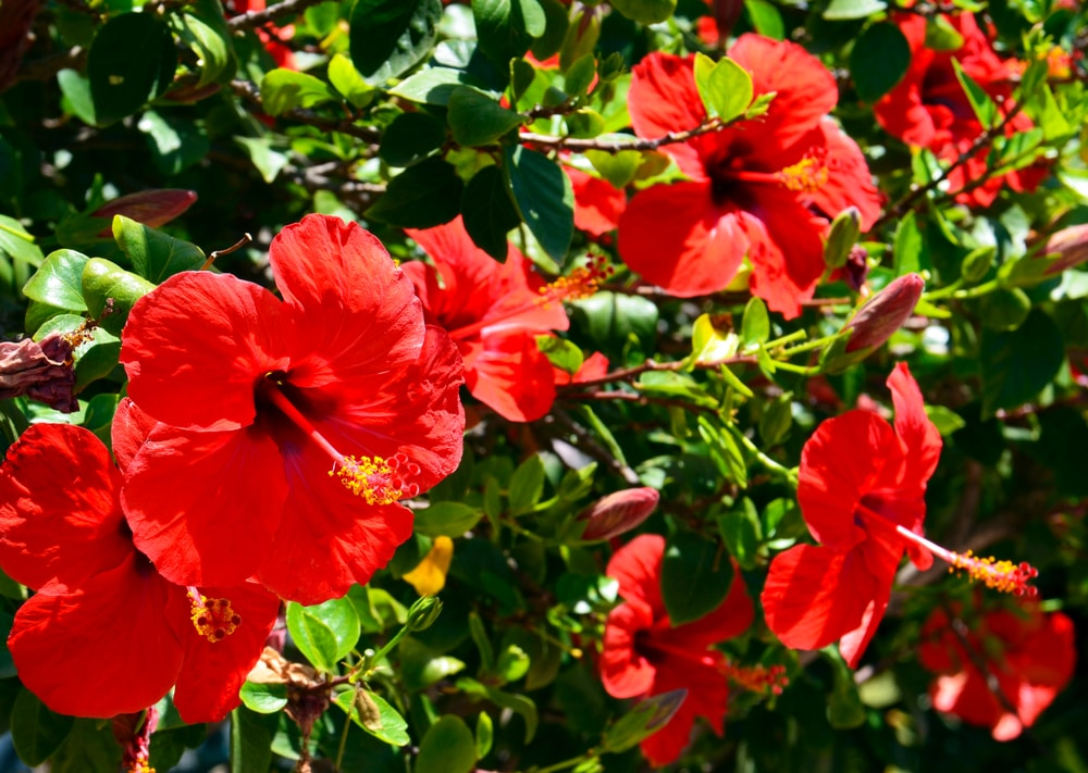 A bunch of vibrant red hibiscus.