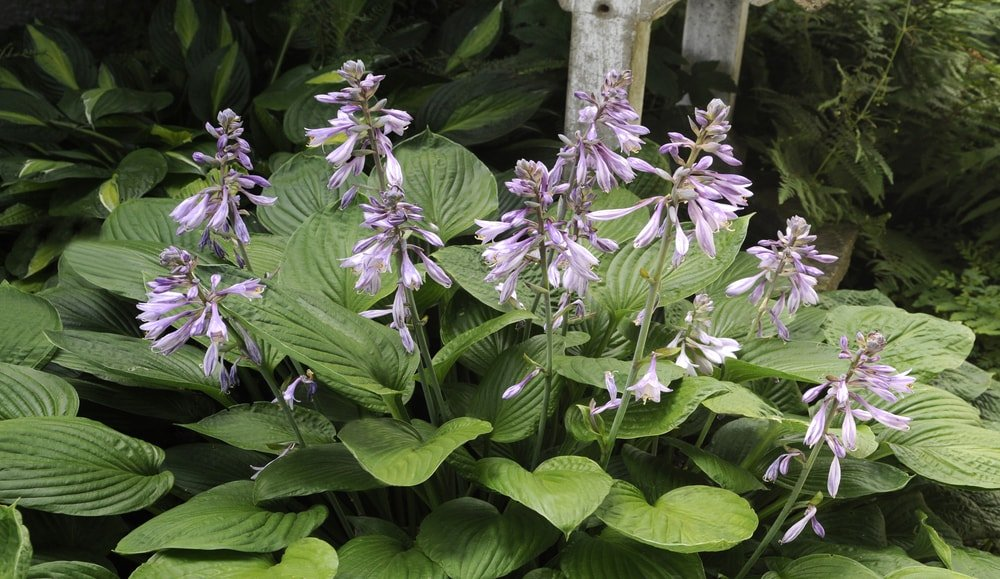 A cluster of pretty hosta flowers.