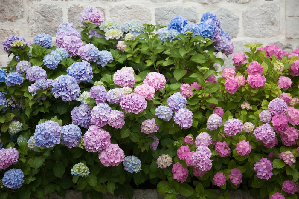 A bunch of beautiful hydrangeas by the stone wall.