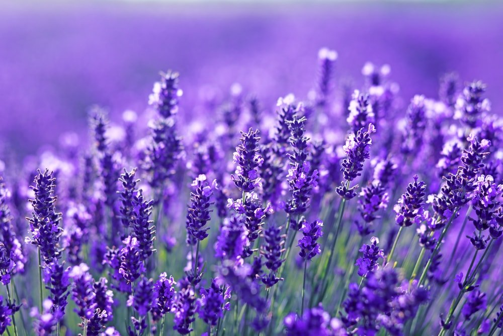 A close up of beautiful lavender flowers.