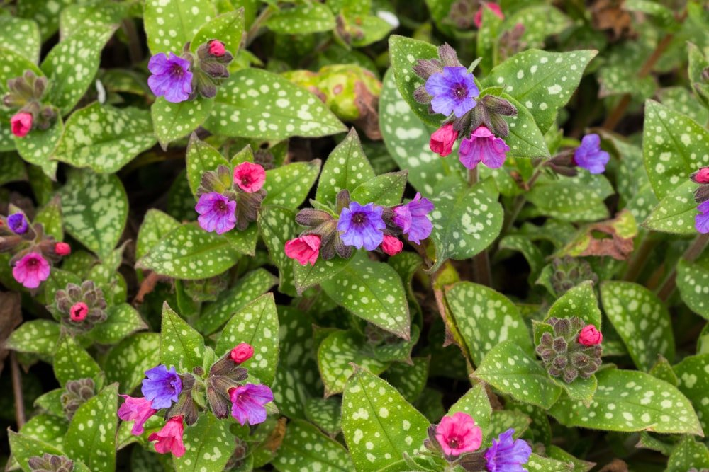 A close up of the beautiful and colorful flowers of lungwort.