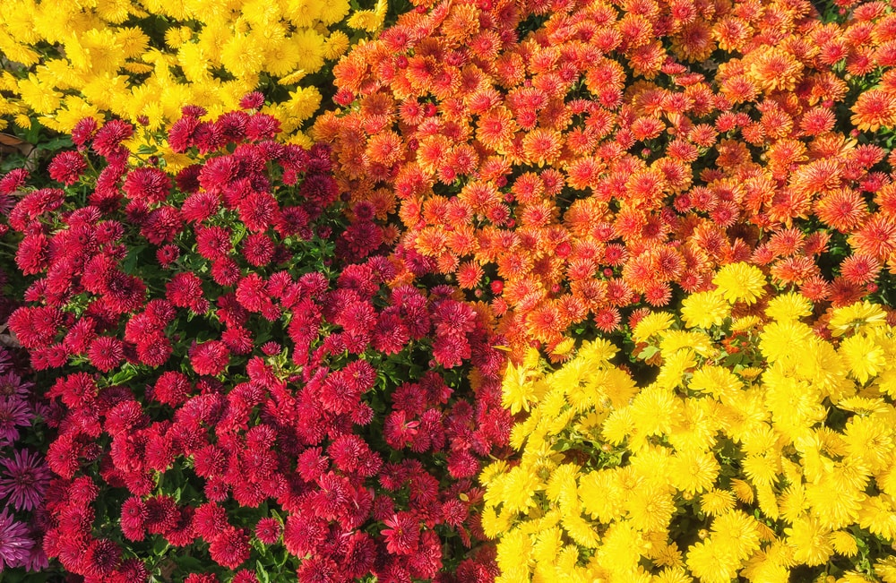 Bunches of autumn-toned mum flowers.