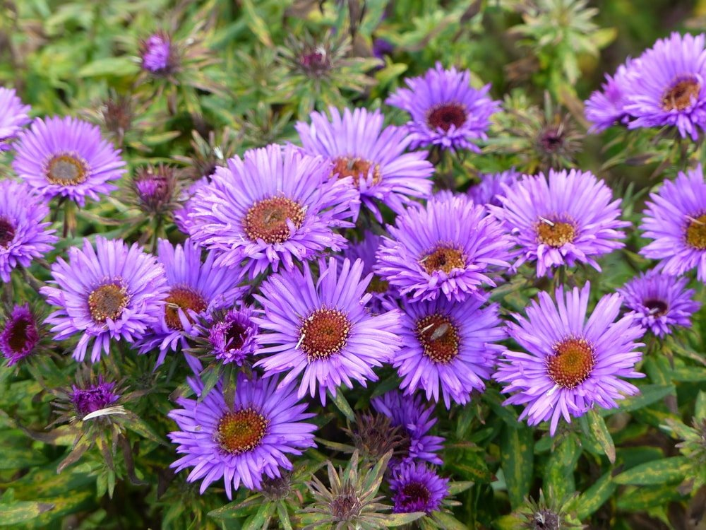 A cluster of purple New England asters.