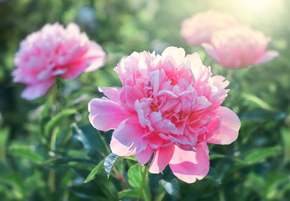 A close up of pretty pink peonies.