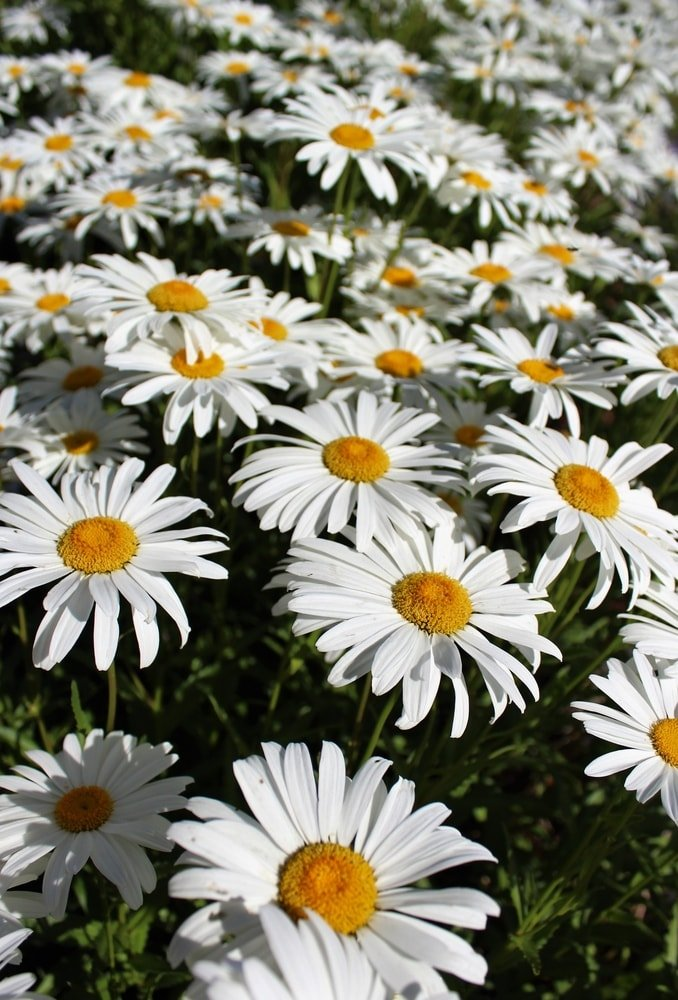 A bunch of shasta daisies blooming.