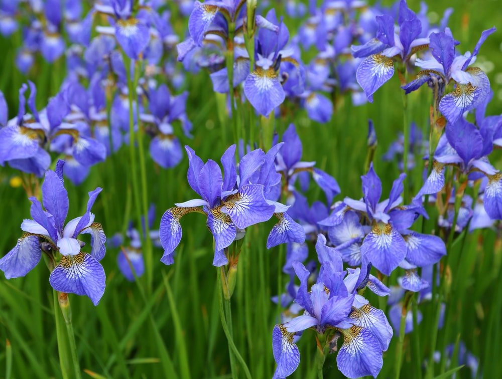 A garden of brilliant blue siberian irises.