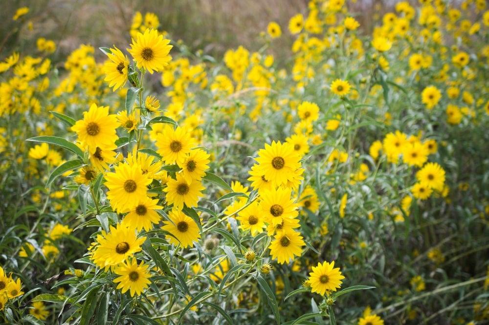A garden of gorgeous tickseed flowers.