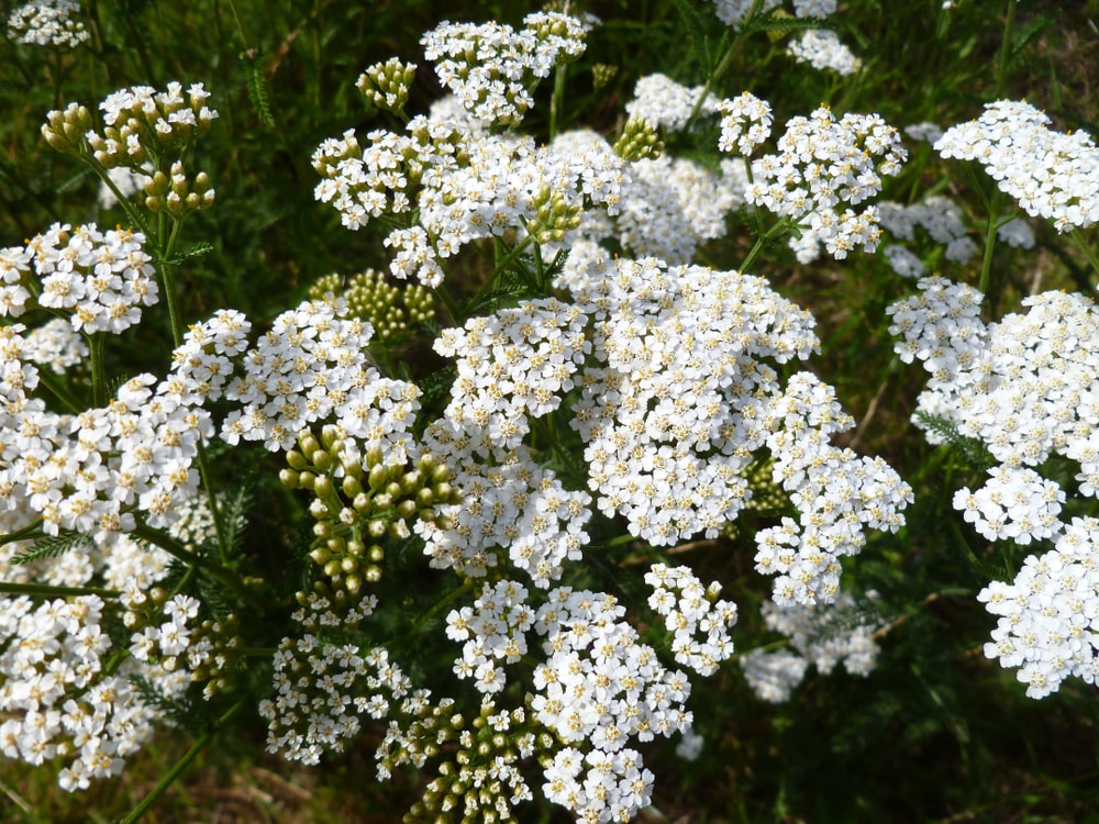 A bunch of brilliant white yarrow flowers.