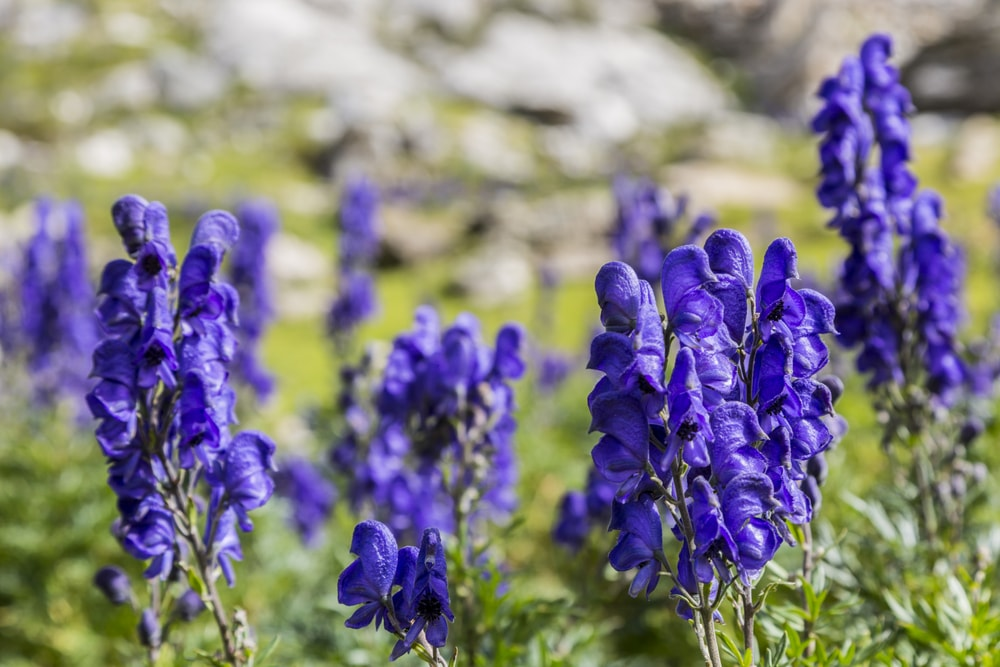 A close look at clusters of aconitum flowers.