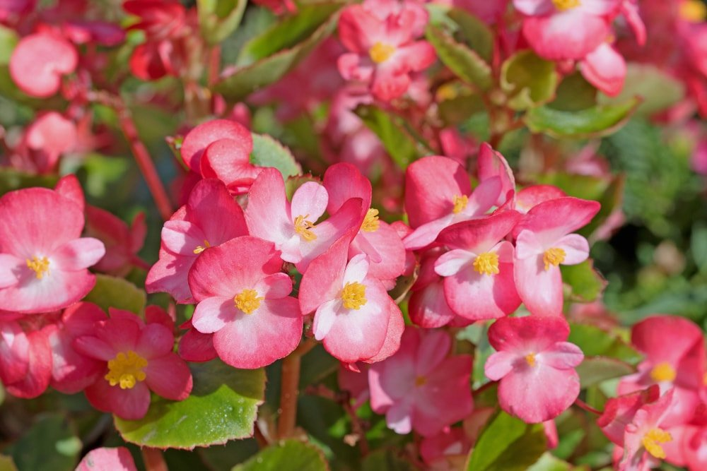 Clusters of lovely pink begonias.