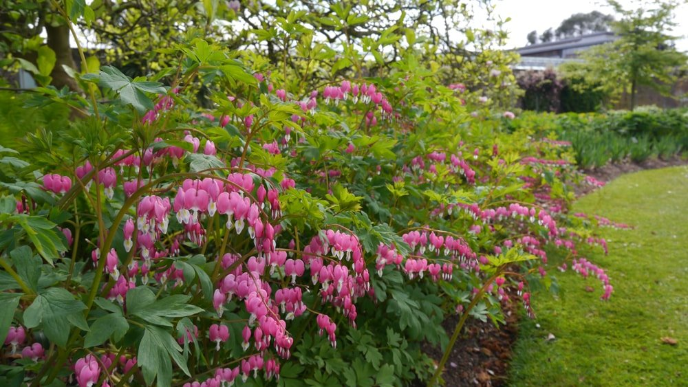 A garden of pink and white bleeding hearts.