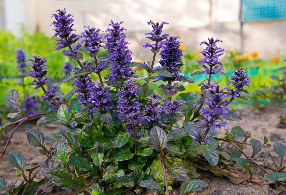 A cluster of deep purple bugleweed planted on the ground.