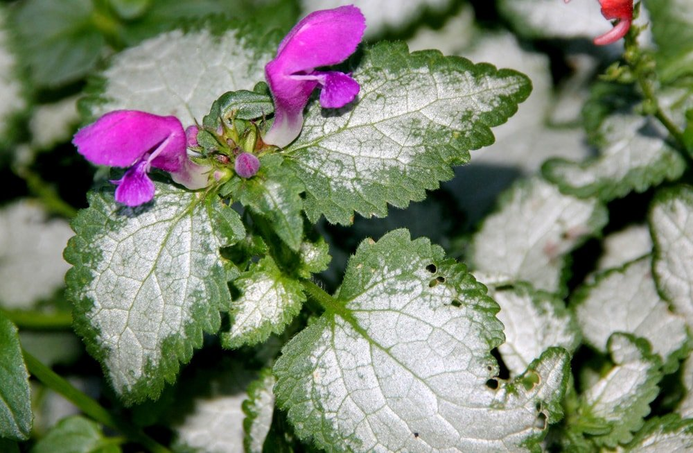 A close up of the dead nettle flower.