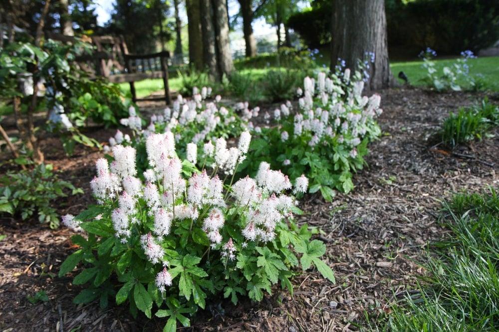 Clusters of beautiful foamflowers in bloom.