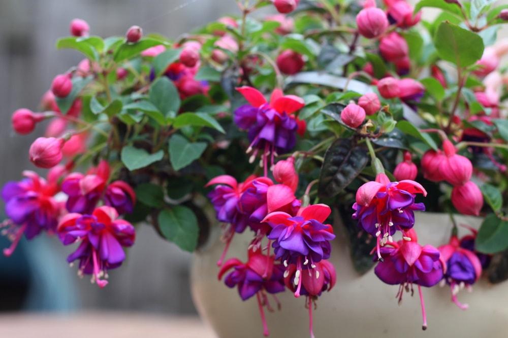 A beautiful pot of deep purple fuchsia.