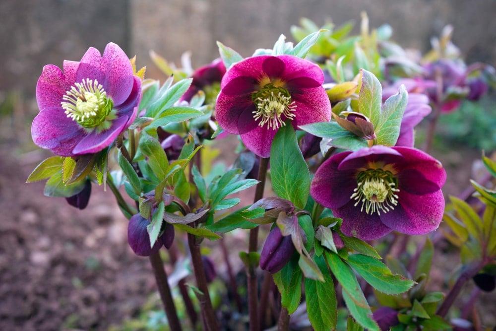 A cluster of deep purple hellebore flowers.