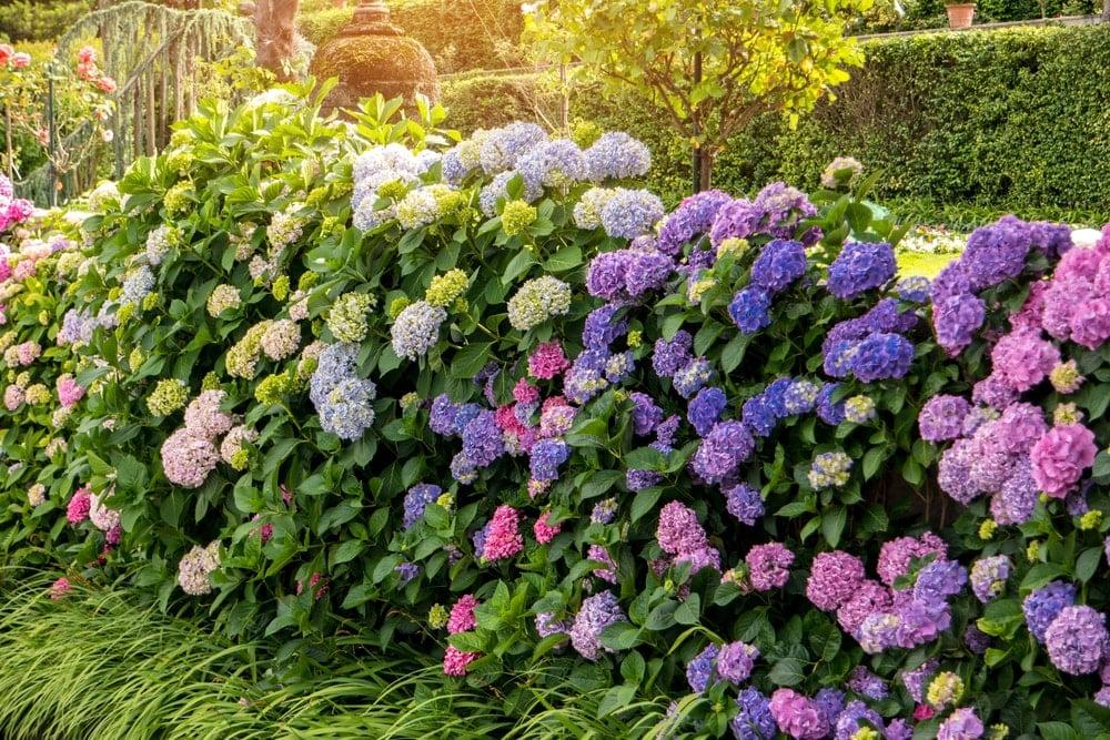 A garden of colorful hydrangeas.