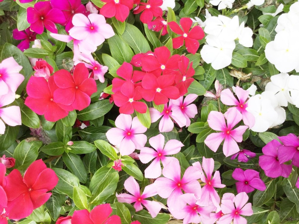 A variety of colorful impatiens flowers.