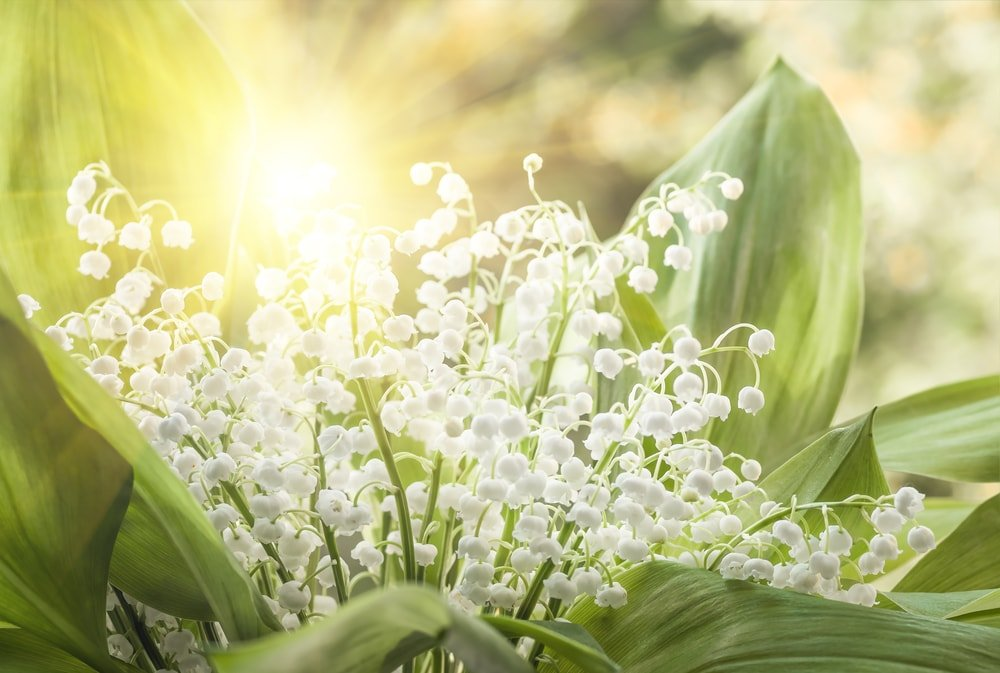 A beautiful cluster of lily of the valley flowers.