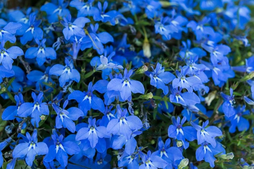 A close up of beautiful deep blue lobelia flowers.