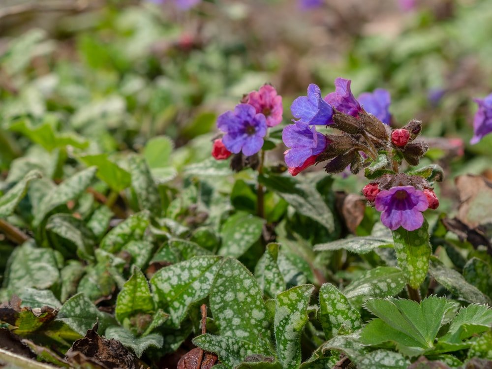 A small colorful cluster of lungwort.