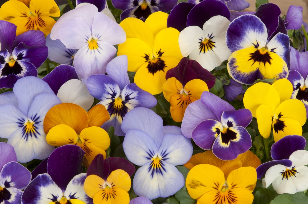 A variety of colorful and vibrant pansies.