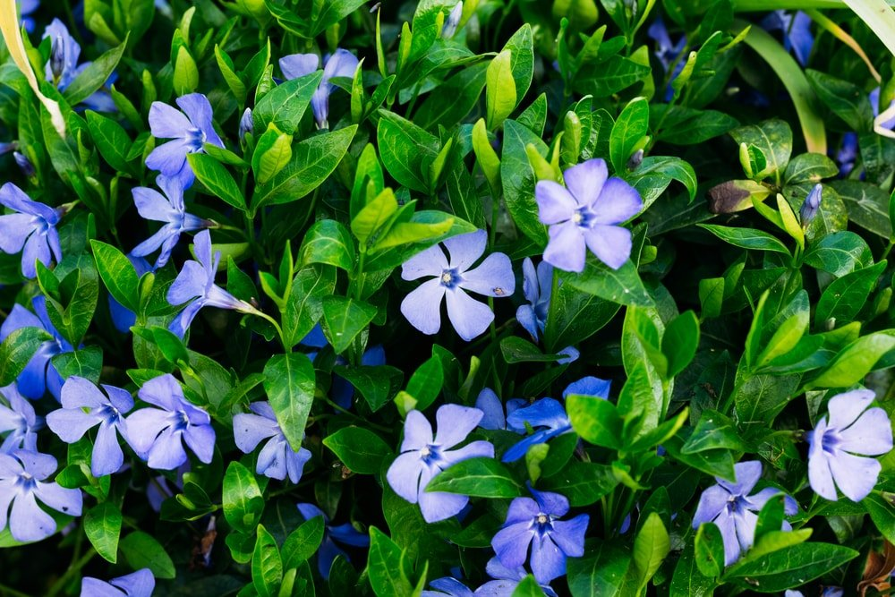 A close up of small purple periwinkle flowers.