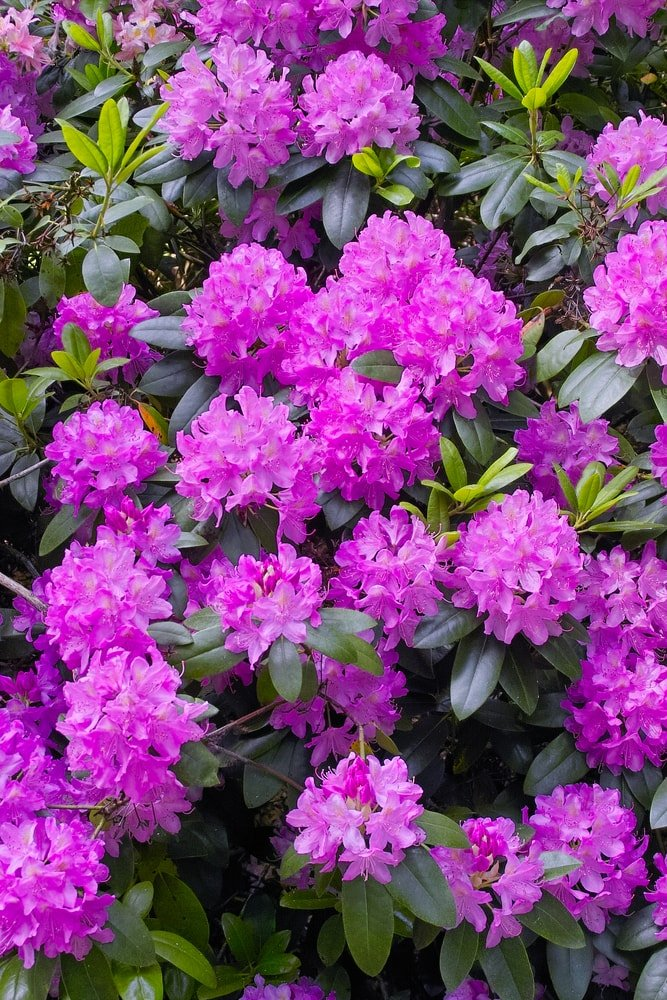 A close up of vibrant purple clusters of rhododendron.