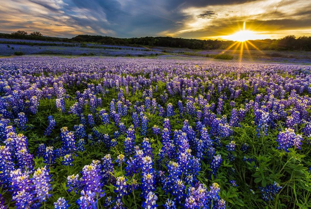 A breathtaking field of bluebonnets.