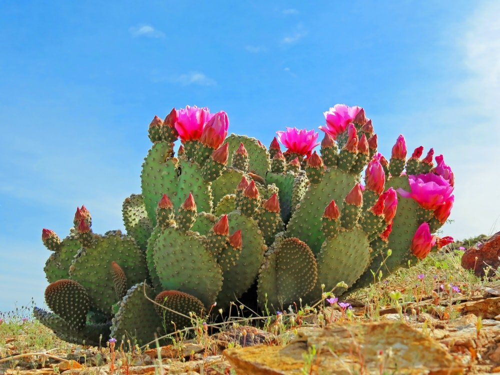 A vibrant cluster of flowering cacti.