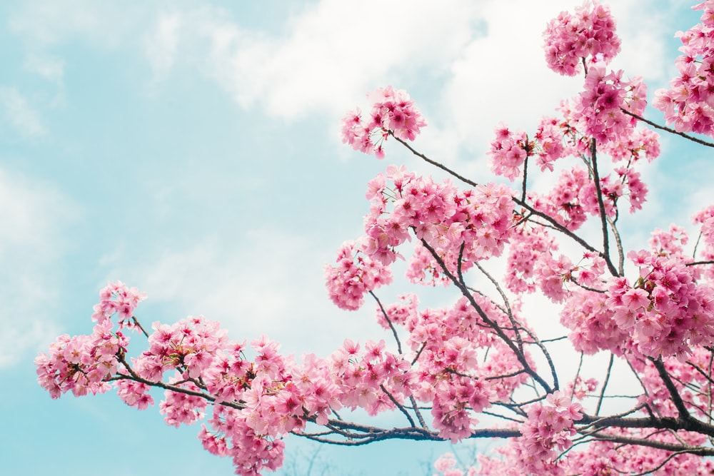 Clusters of beautiful pink flowering cherry blossoms.