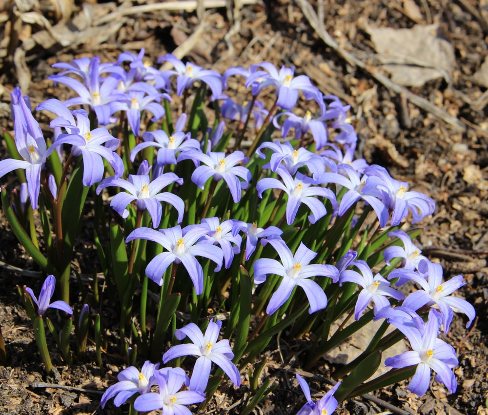 A close-up of a bunch of purple chionodoxa flowers.