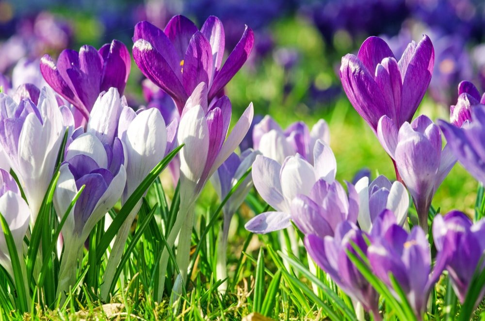 A close view of beautiful crocus flowers growing on a green field.