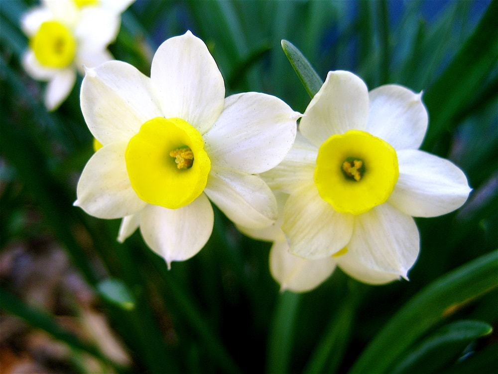 A pair of gorgeous daffodils.