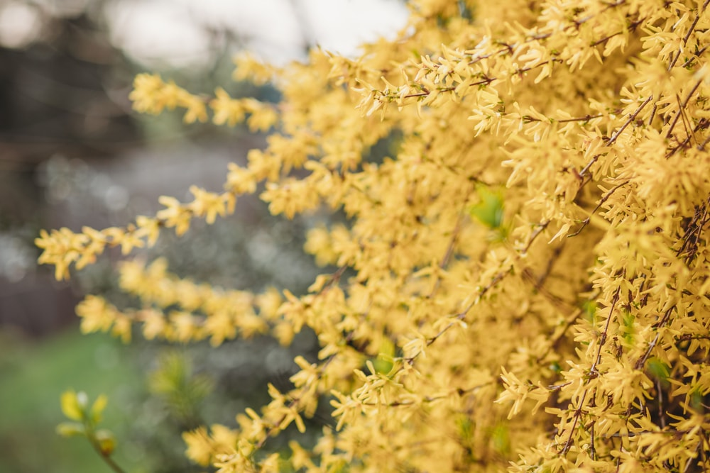 A close up of blooming forsythia flowers.